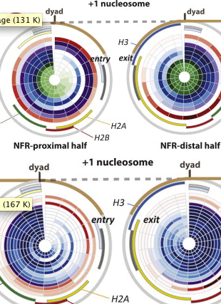 Circular genome visualization and data visualization with Circos: SWR-C and INO80 Chromatin Remodelers Recognize Nucleosome-free Regions Near +1 Nucleosomes (310 x 427)