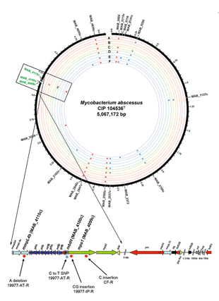 Circular genome visualization and data visualization with Circos: Identification and characterization of the genetic changes responsible for the characteristic smooth-to-rough morphotype alterations of clinically persistent Mycobacterium abscessus (310 x 427)