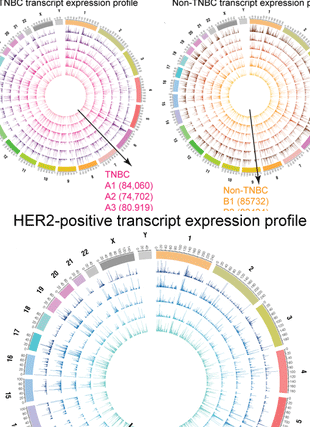 Circular genome visualization and data visualization with Circos: Transcriptomic landscape of breast cancers through mRNA sequencing (310 x 427)