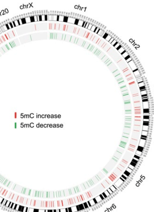 Circular genome visualization and data visualization with Circos: Deep sequencing reveals increased DNA methylation in chronic rat epilepsy (310 x 427)